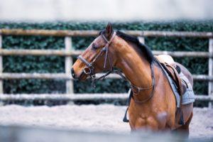 la préparation du cheval de complet