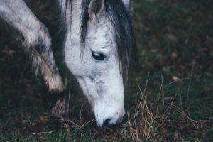 intoxications alimentaires du cheval