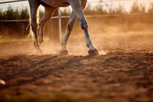 la fourbure du cheval
