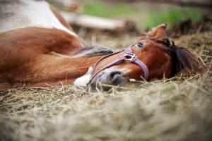 Le sommeil du cheval