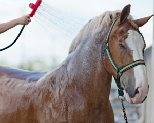 la chaleur sur le cheval